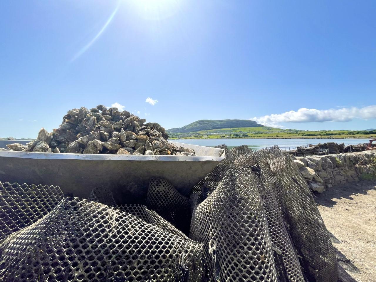 Oysters, bags & Knocknarea